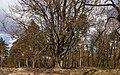 Kroezeboom (grensboom). Beuk (Fagus sylvatica). Locatie, Kroondomein 01.jpg