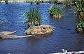 Krokodilfarm in Boca de Guamá Kuba 1972 PD 2.jpg