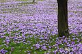 Krokuswiese aus dem Besten Garten in Drebach. 14.04.2013IMG 9440BE.jpg