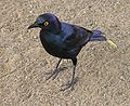 Kruger Glossy Starling.jpg