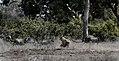 Kruger lionhunting JF.jpg