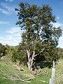 "Kunzea robusta ""East Cape variant"" (AM AK299004).jpg"