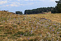 Kvetoucí koniklece v PP Kobylinec 08.jpg
