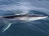 LMazzuca Fin Whale.jpg