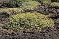 La Palma - Garafía - Vía Puerto de Garafía + Euphorbia balsamifera 02 ies.jpg