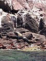 La lobera or los Islotes.JPG