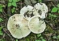Lactarius subvellereus Peck 354201.jpg