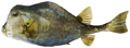 Lactophrys trigonus - pone.0010676.g195.png
