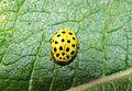 Ladybug Psyllobora vigintiduopunctata (10273827263).jpg