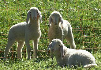 Glossary of sheep husbandry - A trio of lambs