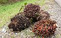 LahadDatu Sabah OilPalmFruits-01.jpg
