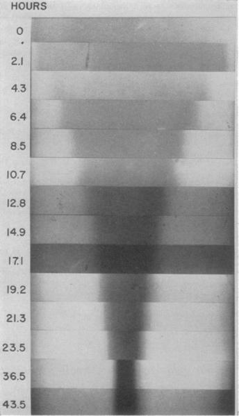 File:Lahuse tsentrifuugimisel DNA koondumine tasakaalulisse punkti.png