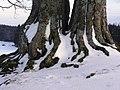Landstetten, Drumlin-Buche HB-14.jpg