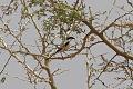 Lanius meridionalis leucopygos, northern Cameroon.jpg