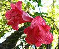 Lapageria rosea (5087641178).jpg