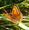 Large Copper. Lycaena dispar - Flickr - gailhampshire.jpg