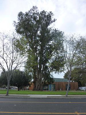 Eucalyptus globulus - Image: Large Eucalyptus Globulus