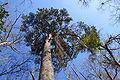 Large Pinus glabra.jpg