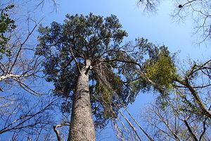 Pinus glabra - Image: Large Pinus glabra