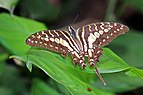 Large striped swordtail (Graphium antheus) mature.jpg