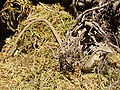 Latastia longicaudata (Wroclaw zoo)-2.JPG