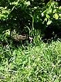 Lathyrus sylvestris sl16.jpg