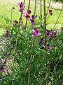 Lathyrys odoratus 'Cupanii' (Leguminosae) plant.JPG