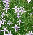 Laurentia axillaris 1.jpg