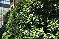 Laurus nobilis 2zz.jpg