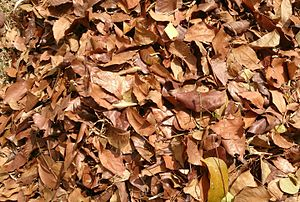 Monodominance - Leaf litter