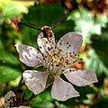 Leeuwenhorstbos - Snorzweefvlieg (Episyrphus balteatus) on flower.jpg