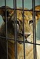 Leonessa at Berlin zoo (2483596559).jpg