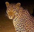 Leopard (3837922096).jpg