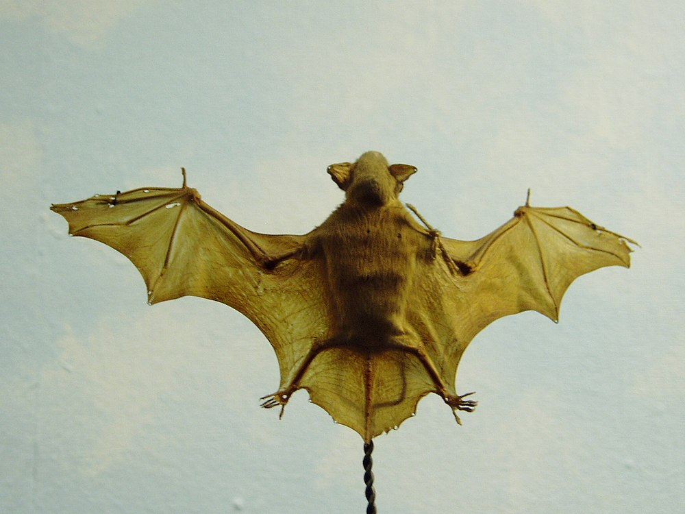 The average litter size of a Lesser bamboo bat is 1