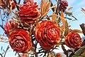 Leucadendron conicum 31108898.jpg