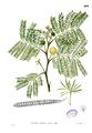 Leucaena leucocephala Blanco2.400.png