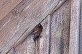 Leucosticte tephrocotis, National Elk refuge, Wyoming (12974418803).jpg