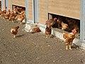 Licques volailles elevage de poulets.JPG