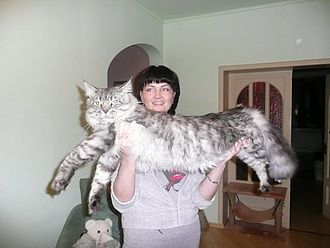 British big cats - A fully grown Maine Coon.