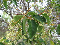 meaning of ligustrum japonicum