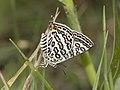 Lilac silverline IMG 4494.jpg