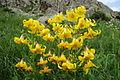 Lilium armenum.jpg