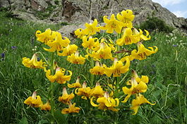 Википедия цветок лилия