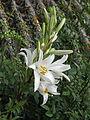Lilium candidum (14434340484).jpg