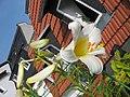 Lilium regale (3).jpg