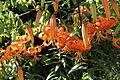 Lilium sp.-IMG 5558.jpg