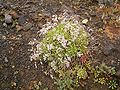 Limonium pectinatum (Los Cancajos) 01 ies.jpg