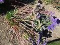 Limonium sinatum 'Midnight Blue' (Plumbagnaceae) plant.JPG