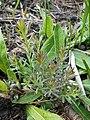 Linaria vulgaris 2017-05-01 9270.jpg