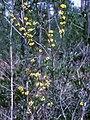 Lindera subcoriacea plant.jpg
